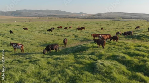 Aerial view of green grass meadow and herd of cows. Nature and pets landscape scene.