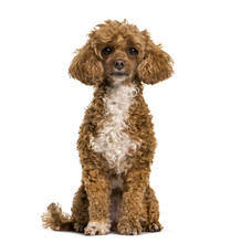 Poodle Dog Sitting And Looking At Camera Against   Sticker