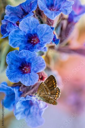 Fotobehang Lichtroze Blue primrose medicinal plant lungwort close-up