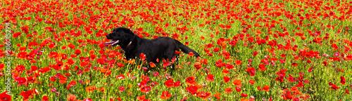 Plexiglas Klaprozen labrador dans un champ de coquelicots