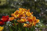 tulpen 09 - 206016299