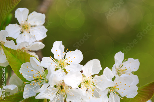 Fototapeta Close up on white cherry blossoms isolated.