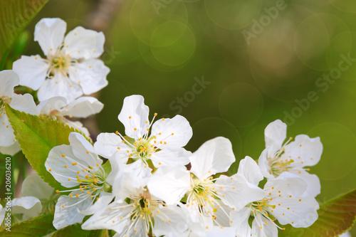 Fototapeta samoprzylepna Close up on white cherry blossoms isolated.