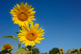 Close up sunflowers with the sunlight adjust color againt with blur sky