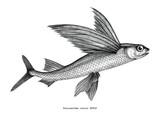 Exocoetidae or Flying fish hand drawing vintage engraving illustration - 206048469