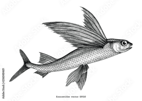 Exocoetidae or Flying fish hand drawing vintage engraving illustration