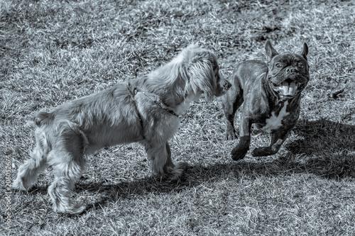 Aluminium Franse bulldog Cocker Spaniel Playing Outdoors with a French Bulldog