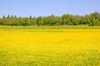 dandelion field in the sun. Novgorod region. Russia