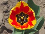 Bicolor red and yellow tulip - 206055816