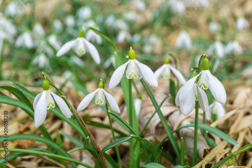 Fototapeta Cluster of common snowdrop flower rising over dry foliage in spring