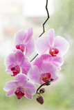 purple Orchid. blooming Orchid. Orchid background