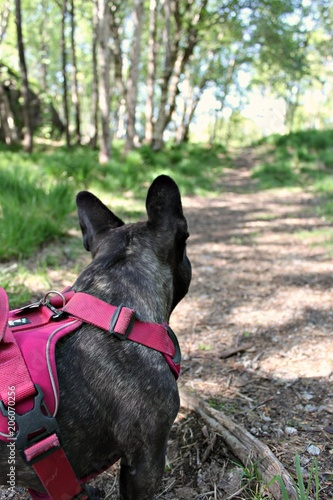 Fotobehang Franse bulldog French bulldog on a walk in the forest