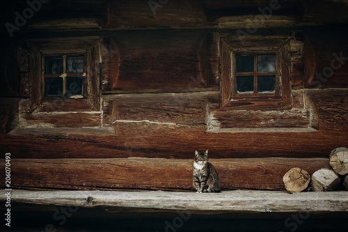 Plexiglas Kat Cute grey cat sitting near old wooden house in Scandinavia, norwegian national park, domestic cat on rustic wood cottage background