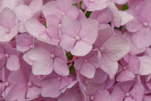 Fotobehang Hydrangea Pink hydrangea blossoms