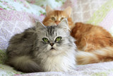 Two domestic cats - 206084880