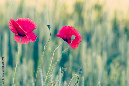 Fototapeta Poppies.Red poppy flowers- papaver rhoeas -against a green background