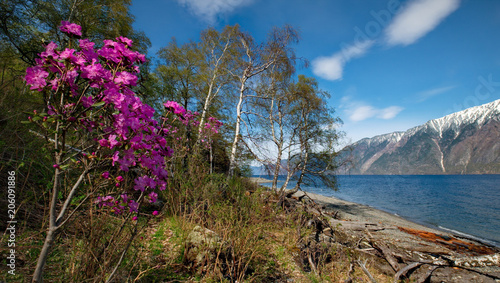 Foto Murales Russia. The South Of Western Siberia, spring flowers of the Altai mountains. Rhododendron. Its flowering period is the main event of spring in the Altai mountains, which attracts many tourists.