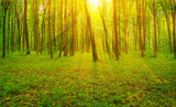 Forest  and sun rays