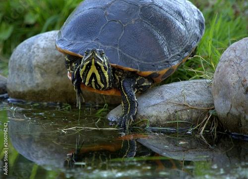 Aluminium Schildpad Wasserschildkröte