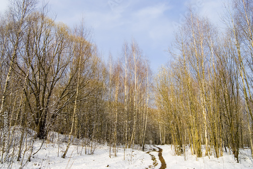 Fotobehang Lente Birch grove and path on thin snow in early spring