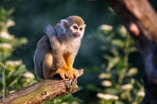Fotobehang Aap Monkey
