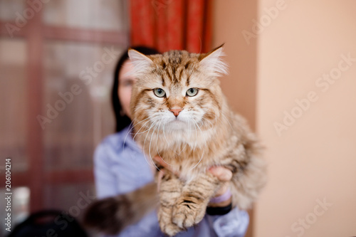 Close-up of Siberian cat without Persian admixture, long coat, brown earth color.