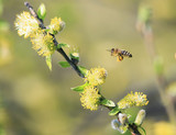 a small honeybee flies to the fluffy yellow willow flower for nectar in the spring