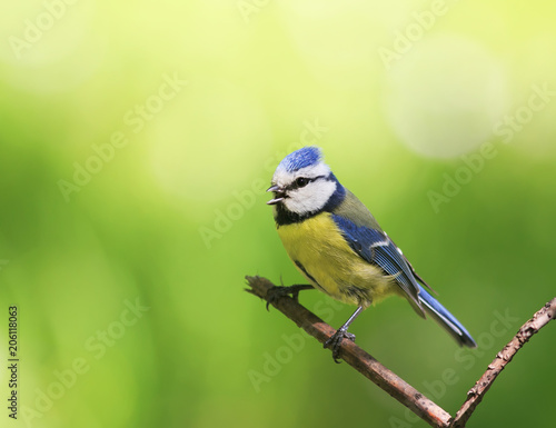 Foto Murales portrait of a beautiful bright little blue tit sitting on a branch in spring garden and sings