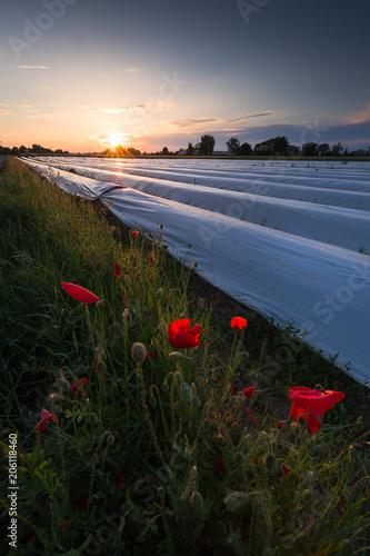 Plexiglas Klaprozen Mohnfeld in der Abendsonne