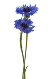Two blue flowers of a cornflower, isolated on a white background. Selective focus