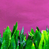 Plant on pink concept. Tropical green  Aloe Minimal vibes - 206123427