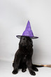 Newfoundland puppy with a witch hat and broom against a grey seamless background