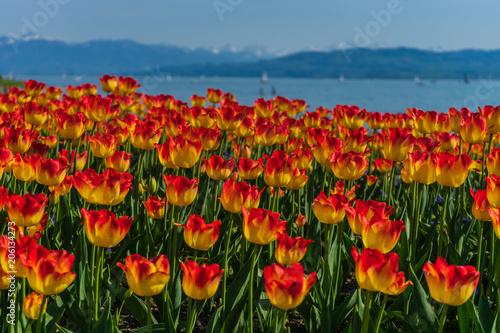 Fotobehang Tulpen Flowers by Lake of Constance