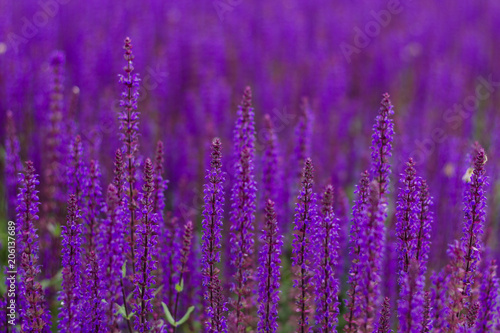 Canvas Snoeien Field of flowering salvia.