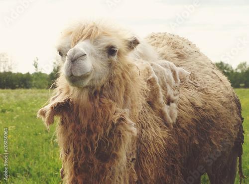 Fotobehang Kameel Camel on green grass, summer
