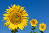 Three sunflowers, one in focus