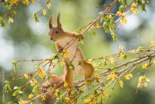 red squirrel is climbing on an Forsythia branch