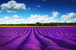 Lavender field in Provence. HDR image.