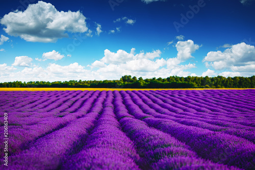 Foto Spatwand Violet Lavender field in Provence. HDR image.