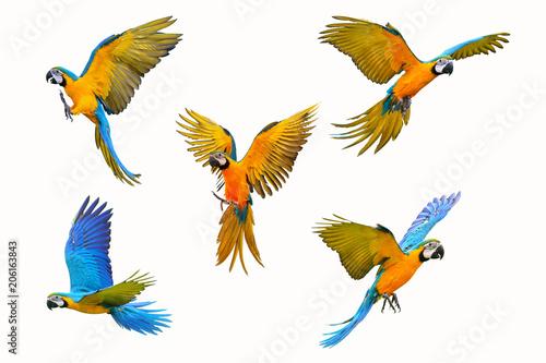 Fototapeta Set of macaw parrot isolated on white background