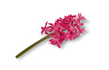 Spring pink hyacinth isolated on white background