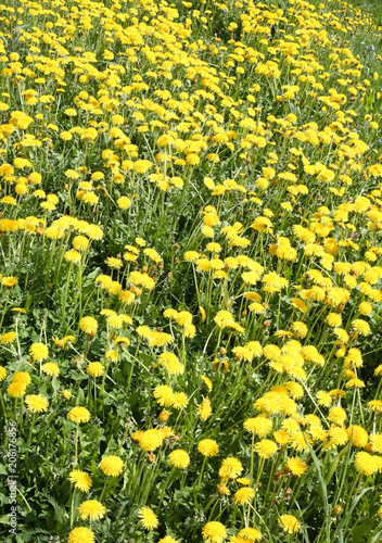 background of many yellow dandelion flowers