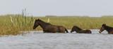 Cheval sauvage, Parc national des oiseaux du Djoudj, Sénégal - 206182024