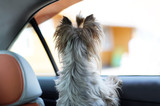 Yorkshire terrier dog in a car seat looks out of the car window - 206184880
