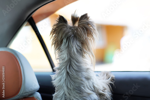 Yorkshire terrier dog in a car seat looks out of the car window