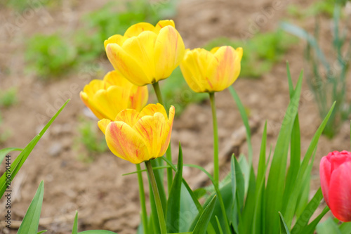 Fotobehang Tulpen Group of yellow tulips in the park. Spring landscape background.