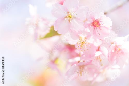 Fototapeta 河津桜の花