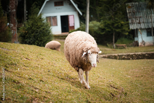 Foto Murales Cute funny happy sheep at outdoor gerden nature field valley