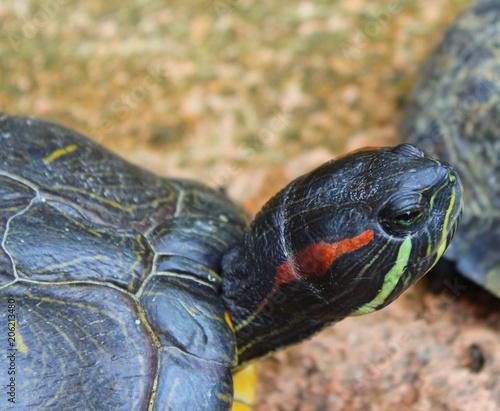 Aluminium Schildpad tortue seule dans son enclos vu lors d'une visite dans un aquarium