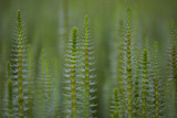 Mare's tail aquatic plant